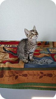 Domestic Shorthair Kitten for adoption in China, Michigan - Gage