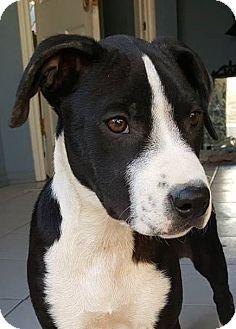 Border Collie/Bullmastiff Mix Puppy for adoption in cupertino, California - Lila
