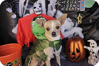 Chihuahua Mix Dog for adoption in Houston, Texas - Coyote