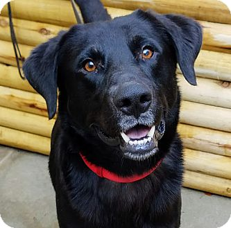 Labrador Retriever/German Shepherd Dog Mix Dog for adoption in Chicago, Illinois - Bandit*ADOPTED!*