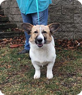Corgi/Beagle Mix Dog for adoption in Windham, New Hampshire - Julia in RI!!!