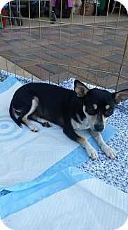 Miniature Pinscher/Dachshund Mix Dog for adoption in Mesa, Arizona - Vixen