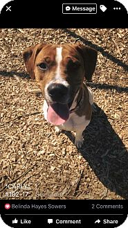 Hound (Unknown Type)/Boxer Mix Dog for adoption in Zanesville, Ohio - Carly @ Animal Shelter