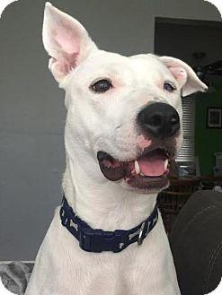 American Staffordshire Terrier/German Shepherd Dog Mix Dog for adoption in St Louis, Missouri - Jupiter