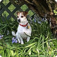 Adopt A Pet :: AMBER--ADOPTED!! - Lynnwood, WA
