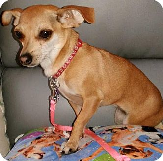 Chihuahua Mix Dog for adoption in Las Vegas, Nevada - Twiggy