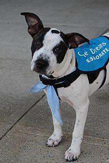 Terrier (Unknown Type, Medium)/Labrador Retriever Mix Dog for adoption in Keyport, New Jersey - Vernon