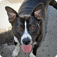 Pit Bull Terrier Dog for adoption in Mission, Kansas - Skrillex