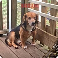 Adopt A Pet :: SHILOH - Ventnor City, NJ