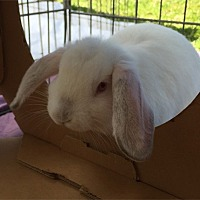 Mini Lop Mix for adoption in San Clemente, California - BUTTERCUP