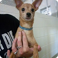 Chihuahua Dog for adoption in Fort Scott, Kansas - Fernando
