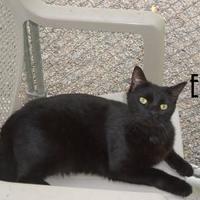 Adopt A Pet :: Midnight/Eli - Franklin, NC