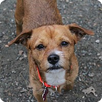 Terrier (Unknown Type, Medium) Mix Dog for adoption in Hopkinton, Massachusetts - B.B.