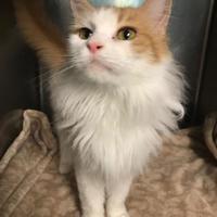 Adopt A Pet :: Victoria - BATH, NY