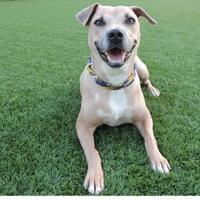 Labrador Retriever Mix Dog for adoption in Quincy, Illinois - Piper