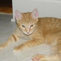 Domestic Shorthair/Domestic Shorthair Mix Cat for adoption in New Orleans, Louisiana - Coco