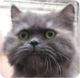 Persian Cat for adoption in Davis, California - Lucy