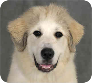 Great Pyrenees Puppy for adoption in Chicago, Illinois - Billy