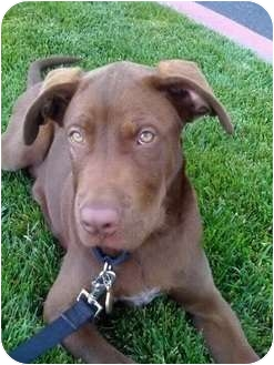 Labrador Retriever/Pit Bull Terrier Mix Puppy for adoption in Valley Center, California - Mud