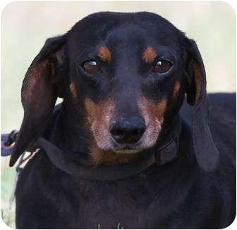 Dachshund Dog for adoption in Providence, Rhode Island - Marty