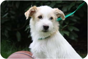 Terrier (Unknown Type, Small) Mix Puppy for adoption in West Milford, New Jersey - NUTTER 19 lbs