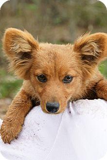 Corgi/Dachshund Mix Puppy for adoption in Daisy, Georgia - Sunny *Courtesy*
