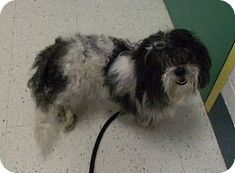 Havanese Mix Dog for adoption in Avon, New York - Snoopy