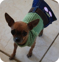 Chihuahua Dog for adoption in Henderson, Nevada - Fyg