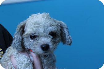 Poodle (Miniature) Mix Dog for adoption in Hibbing, Minnesota - Topaz