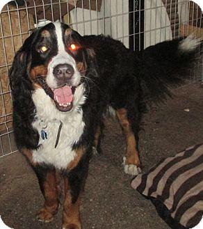 Bernese Mountain Dog Dog for adoption in Cornwall, Ontario - URGENT SAMMY