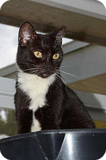 Domestic Shorthair Cat for adoption in Brooksville, Florida - Mia