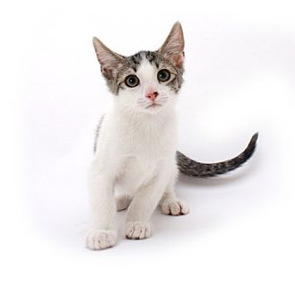 Domestic Mediumhair Cat for adoption in Chandler, Arizona - Remy