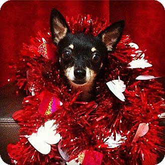 Chihuahua Dog for adoption in Davie, Florida - Bruno