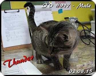 American Shorthair Cat for adoption in Corinth, Mississippi - Thunder