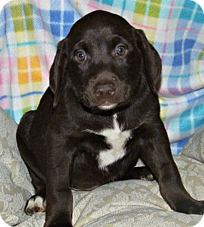 Doberman Pinscher/Labrador Retriever Mix Puppy for adoption in ST LOUIS, Missouri - Danika