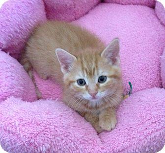 Domestic Shorthair Kitten for adoption in Horsham, Pennsylvania - Ginger