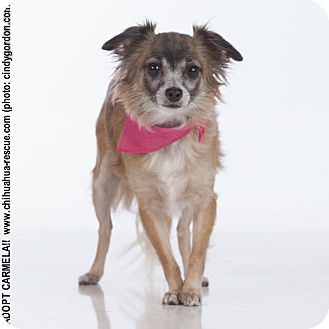 Chihuahua Mix Dog for adoption in Dallas, Texas - Carmela