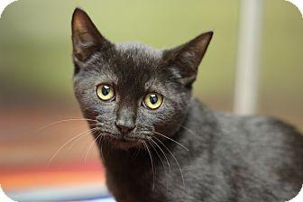 Domestic Shorthair Kitten for adoption in Marietta, Georgia - Torque