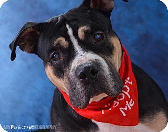 Bulldog Mix Dog for adoption in Miami, Florida - S/C Lamar