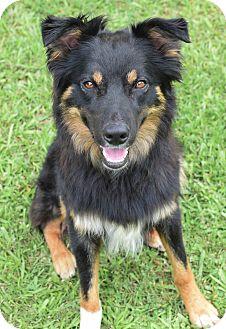 Australian Shepherd Mix Dog for adoption in Glastonbury, Connecticut - Finn