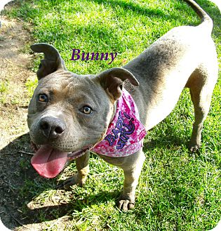 Staffordshire Bull Terrier Mix Dog for adoption in El Cajon, California - Bunny