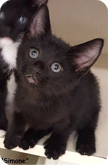 Domestic Shorthair Kitten for adoption in Key Largo, Florida - Simone