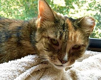 Domestic Shorthair Cat for adoption in Brooklyn, New York - Snickers! A sweet survivor