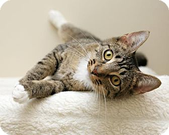 Domestic Shorthair Cat for adoption in Bellingham, Washington - Shiva