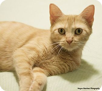 Domestic Shorthair Cat for adoption in Chattanooga, Tennessee - Prairie Dawn