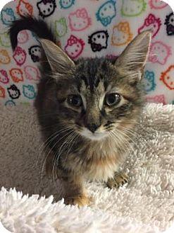 Domestic Mediumhair Kitten for adoption in Fountain Hills, Arizona - IVY