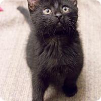 Adopt A Pet :: Maddon - Chicago, IL