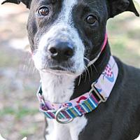 Adopt A Pet :: Amy - Jacksonville, FL