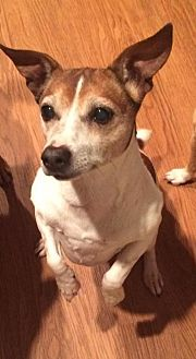 Jack Russell Terrier Dog for adoption in Corbin, Kentucky - Lillie