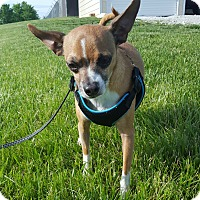Chihuahua Mix Dog for adoption in Hawk Point, Missouri - Sir Rigsy